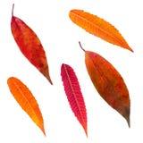 Foglie di autunno isolate messe Immagini Stock Libere da Diritti