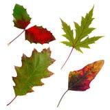 Foglie di autunno isolate messe Immagini Stock