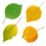 Foglie di autunno isolate messe Fotografia Stock