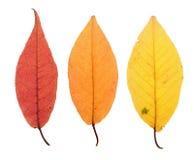 Foglie di autunno isolate su bianco Fotografia Stock