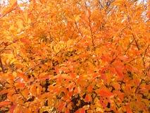 Foglie di autunno luminose sull'albero immagini stock