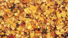 Foglie di autunno nel parco Il rosso, il giallo e le foglie verdi stanno cadendo alla terra Il vento soffia sulla menzogne multi archivi video