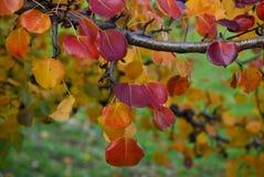 Foglie di autunno rosse fotografia stock