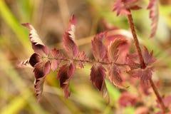 Foglie di autunno rosse a cinque dita di erba Fotografia Stock Libera da Diritti