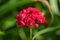 Foglie di autunno rosse - fondo Fotografia Stock