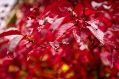 Foglie di autunno rosse sotto la pioggia Toni di colore di Marsala Fotografie Stock