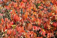 Foglie di autunno rosse vive e frutti o pesi su un albero del Rhus Fotografie Stock Libere da Diritti