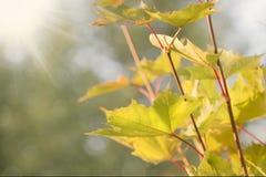 Foglie di autunno soleggiate di un bokeh del whith dell'acero Fotografia Stock Libera da Diritti