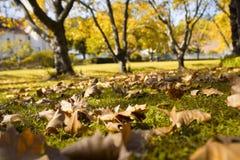Foglie di autunno su prato inglese verde con gli alberi nel fondo Fotografie Stock