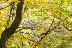 Foglie di autunno sui rami di albero Fotografie Stock