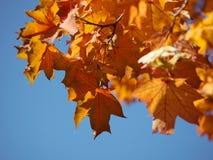 Foglie di autunno sul sole e sugli alberi vaghi Bello BAC di autunno fotografia stock
