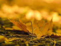 Foglie di autunno sul sole e sugli alberi vaghi Bello BAC di autunno fotografia stock libera da diritti