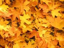 Foglie di autunno sul sole e sugli alberi vaghi Bello BAC di autunno immagine stock