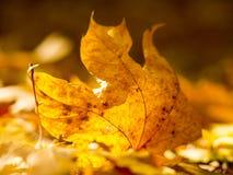 Foglie di autunno sul sole e sugli alberi vaghi Bello BAC di autunno fotografie stock libere da diritti