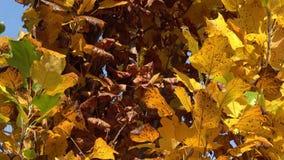 Foglie di autunno sul sole Fogli sull'albero di autunno stock footage