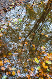Foglie di autunno in una pozza con il refelction di più forrest immagini stock