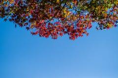 Foglie di autunno variopinte dell'albero con il fondo e lo spazio del cielo blu per testo Fotografia Stock
