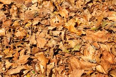 Foglie di autunno variopinte e marroni, struttura, materiale e fondo Lascia le foglie dagli alberi, fine su Fotografia Stock Libera da Diritti