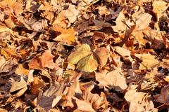Foglie di autunno variopinte e marroni, struttura, materiale e fondo Lascia le foglie dagli alberi, fine su Fotografie Stock