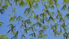 Foglie di Bamboe Immagini Stock