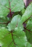 Foglie di barbabietola Primo piano di una foglia retroilluminata della barbabietola Prodotto-verdure fresche di vegetables Fotografia Stock Libera da Diritti