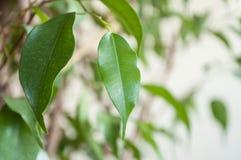 foglie di benjamin di ficus Fotografia Stock Libera da Diritti