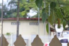 Foglie di Bodhi fotografia stock libera da diritti