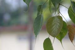 Foglie di Bodhi fotografie stock libere da diritti