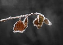 Foglie di Brown con i cristalli di ghiaccio Fotografie Stock