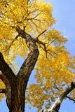 Foglie di caduta, albero del pioppo, cielo blu Immagine Stock