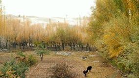 Foglie di caduta brillanti del pioppo in autunno video d archivio