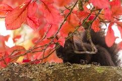 Foglie di caduta che nascondono uno scoiattolo nero Fotografia Stock