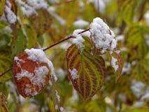Foglie di caduta con neve in legno Fotografia Stock Libera da Diritti