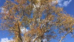 Foglie di caduta di giallo su cielo blu stock footage