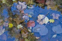 Foglie di caduta in uno stagno di acqua Immagini Stock