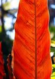 Foglie di Calathea Lancifolia Fotografia Stock Libera da Diritti