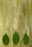 Foglie di Camelia su verde fotografie stock libere da diritti