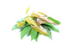 Foglie di chikoo e del mango immagine stock