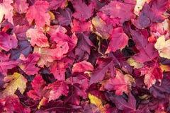 Foglie di colore cadute autunno Fotografie Stock Libere da Diritti