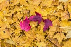 Foglie di colore cadute autunno Immagine Stock