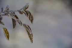 Foglie di congelamento Fotografie Stock Libere da Diritti