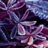 foglie di erba coperte di primi ghiaccioli pungenti Immagine Stock Libera da Diritti