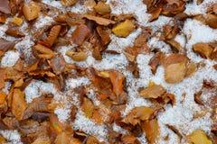 Foglie Di faggio nelle neve Στοκ εικόνα με δικαίωμα ελεύθερης χρήσης