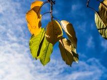 Foglie di giallo contro il cielo blu fotografia stock