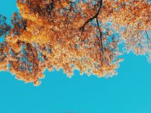 Foglie di giallo del cielo blu fotografia stock