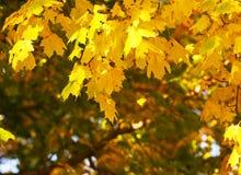 Foglie di giallo dell'acero di autunno esterno Caduta Fotografie Stock