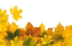 Foglie di giallo dell'acero di autunno su fondo bianco Immagini Stock Libere da Diritti