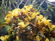 Foglie di giallo dell'albero del Croton Immagine Stock