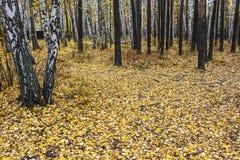 Foglie di giallo della foresta di autunno Fotografia Stock
