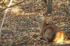 Foglie di giallo di autunno di resto dei cervi Fotografia Stock